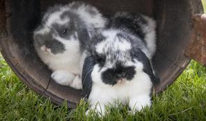 Mini Lop Bunnies Full Grown